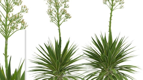 Set of Agave Angustifolia Trees (Caribbean Agave) (2 Trees)