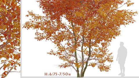 Set of Snakebark maple Trees (Acer davidii) (2 Trees)