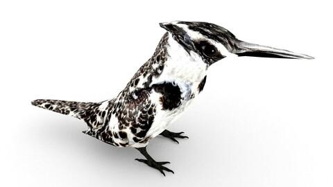 Pied Kingfisher(Ceryle rudis)