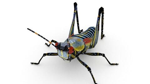 Elegant Grasshopper(Zonocerus elegans)