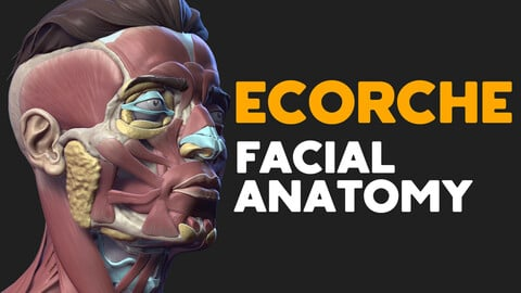 Ecorche. Facial anatomy