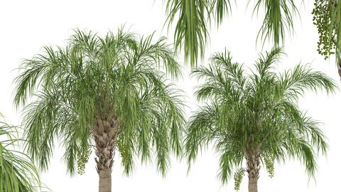 Set of Queen palm Trees (Syagrus romanzoffiana) (2 Trees)