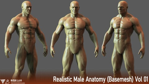 Realistic Male Anatomy (Basemesh) Vol 01