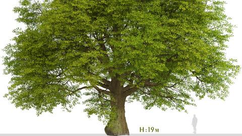 Common Oak Tree (Quercus robur) (1 Tree)