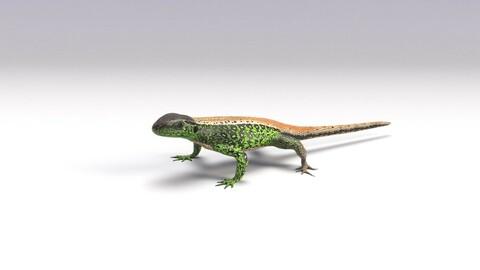Sand lizard Lacerta agilis