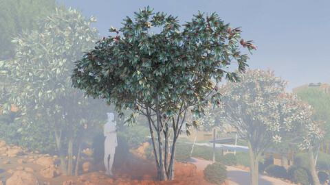 3d models of multi bronze loquat tree eriobotrya deflexa