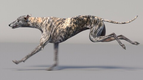 Greyhound Tiger Animated