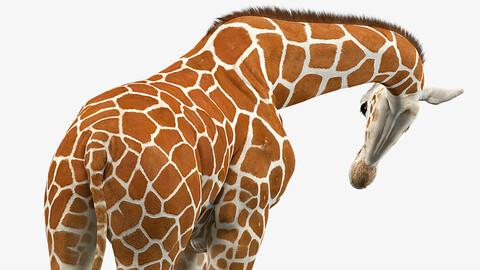Giraffe Rigged