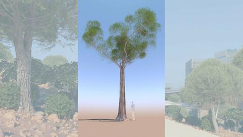 3D tree pinus pinea stone pine adult B