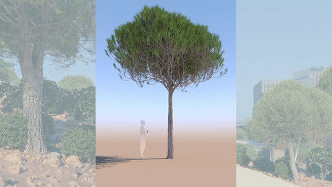 3D tree pinus pinea stone pine young a