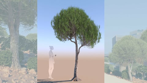 3D tree pinus pinea stone pine young d