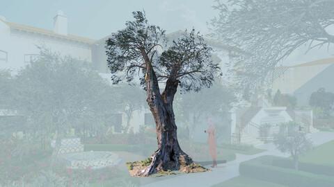 3D olive tree olea europaea mature b