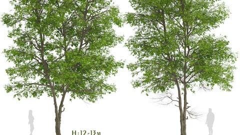 Set of Tilia Platyphyllos Trees (Large-Leaved Lime) (2 Trees)