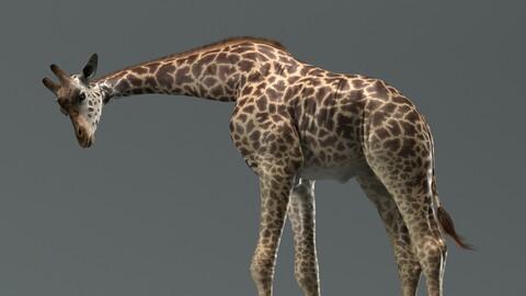 Giraffe Masai Rigged