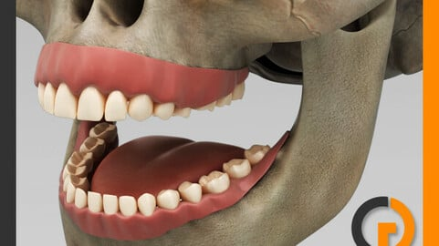 Human Dental Skull - Teeth Gums Tongue - Anatomy