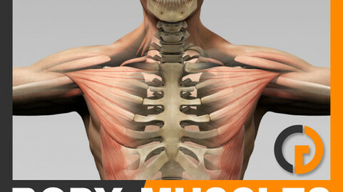 Human Male Body, Muscular System and Skeleton - Anatomy