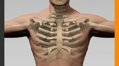 Human Male Body and Skeleton - Anatomy