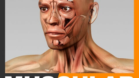 Human Male Body and Muscular System - Anatomy