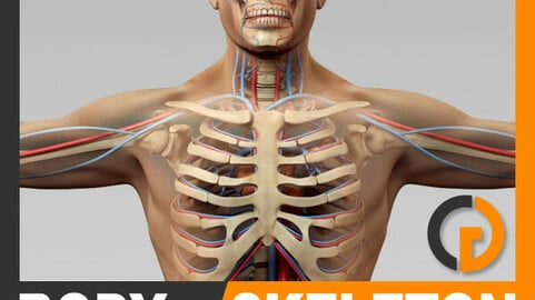 Human Male Body, Circulatory System and Skeleton - Anatomy