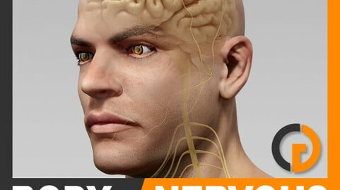 Human Male Body and Nervous System Textured - Anatomy