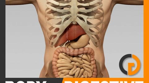 Human Male Body, Digestive System and Skeleton - Anatomy