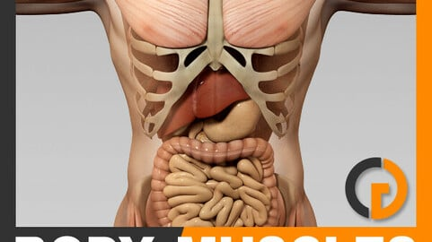 Human Male Body, Muscular, Digestive System and Skeleton - Anatomy