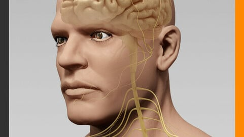 Human Male Body and Nervous System - Anatomy