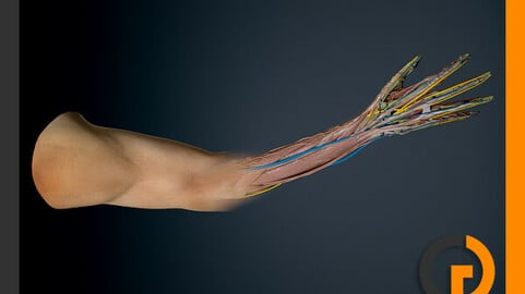 Human Male Arm Anatomy
