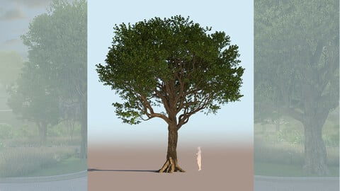 quercus agrifolia coast live oak quercus agrifolia mature b