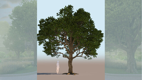 quercus agrifolia coast live oak quercus agrifolia mid a