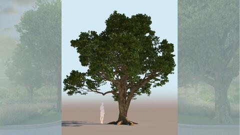 quercus agrifolia coast live oak quercus agrifolia mid b