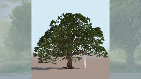 quercus agrifolia coast live oak quercus agrifolia mid c