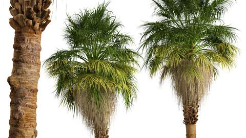 Set of California palm Trees (Washingtonia filifera) (2 Trees)