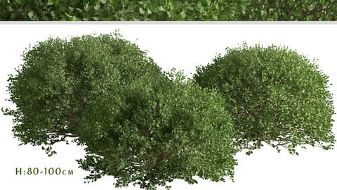 Set of Boxood Shrubs ( Buxaceae ) (3 Shrubs)
