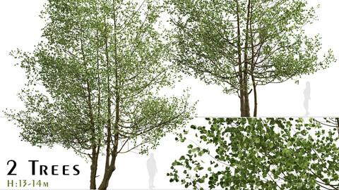 Set of Black Alder Trees (Alnus glutinosa) (2 Trees)
