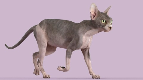 Sphynx Cat Bicolor Animated