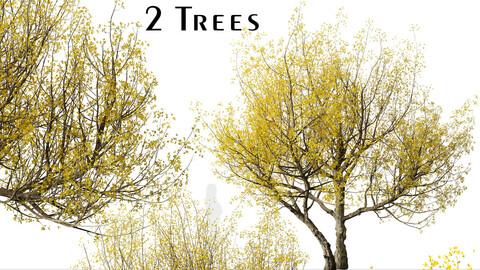Set of Flowering Cornus mas Trees (Cornelian cherry) (2 Trees)