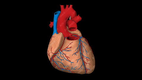 Heart and great vessels (Anterior View)