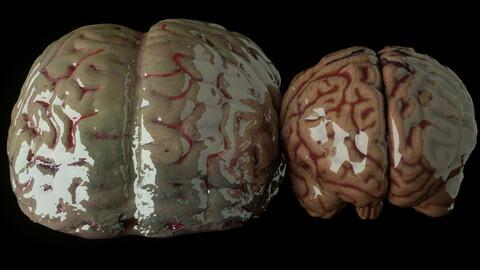 Human Brain 3D Models (fbx,dae,obj) - Anatomy