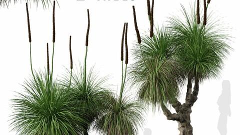 Set of Xanthorrhoea arborea (Broad-leafed Grass Tree) (2 Trees)