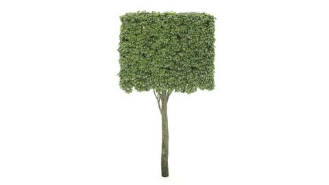 shaped tree