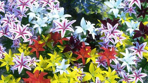 Garden Flowers - Asiatic Lilies