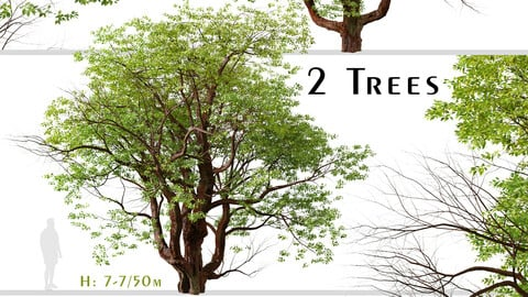 Set of Chinese Stewartia Tree (Stewartia sinensis) (2 Trees)