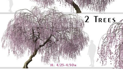 Set of Weeping Cherry Tree (Prunus pendula) (2 Trees)