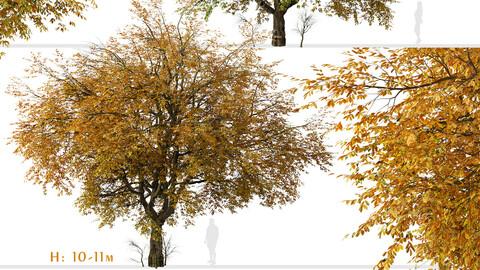 Set of Hangzhou elm Tree (Ulmus changii) (2 Trees)