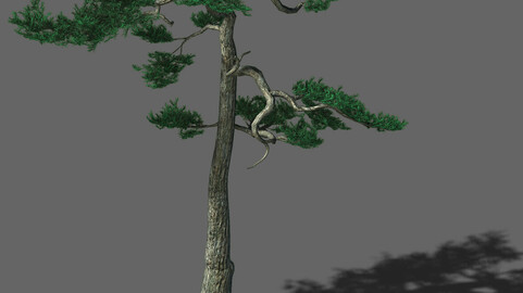 Huashan - plant - pine 03