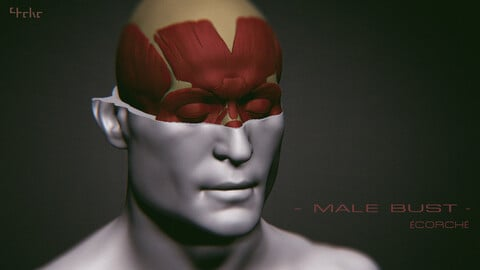 Male Bust - Anatomy