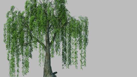 Plant - willow 1-1