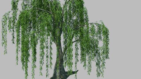 Plant - willow 1-2