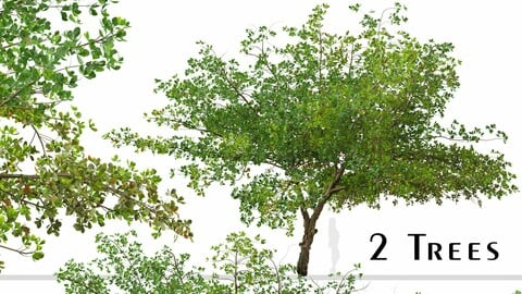 Set of Terminalia catappa Tree (Indian almond) (2 Trees)